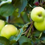 fertlizante para manzanas, peras, melocotones, aceitunas, viñas y fruta y árboles frutales en general.